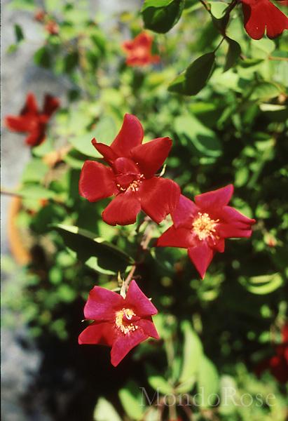 Chinensis Sanguinea