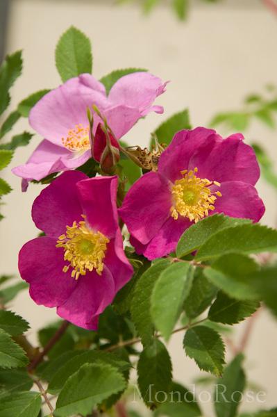 Acicularis Nipponiensis