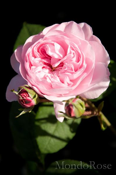 Rose d'Hivers