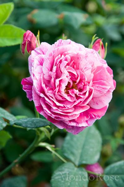 Rosa Antica Profumata Ferdinand Pichard ( Tanne 1921 )