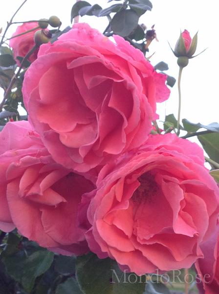Pink Perpetue (da seme)