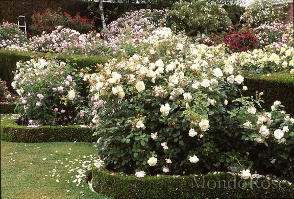 Crocus Rose ®