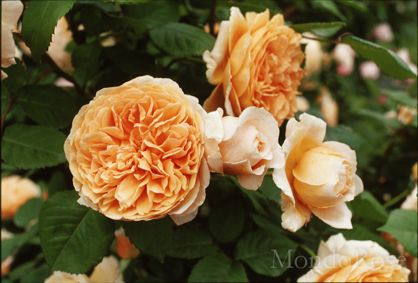 Crown Princess Margareta Clb ®