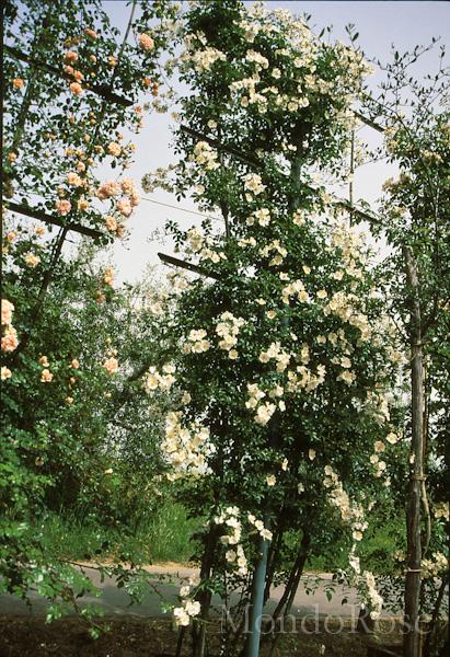 Wichuraiana
