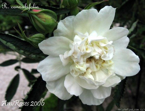 Cannabifolia