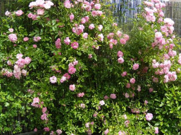 Banksiae Rosa