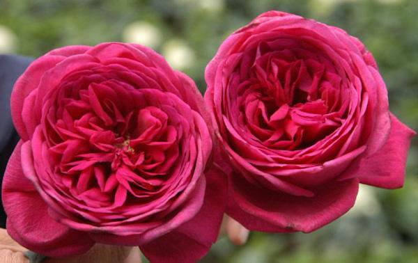 Goethe Rose ®