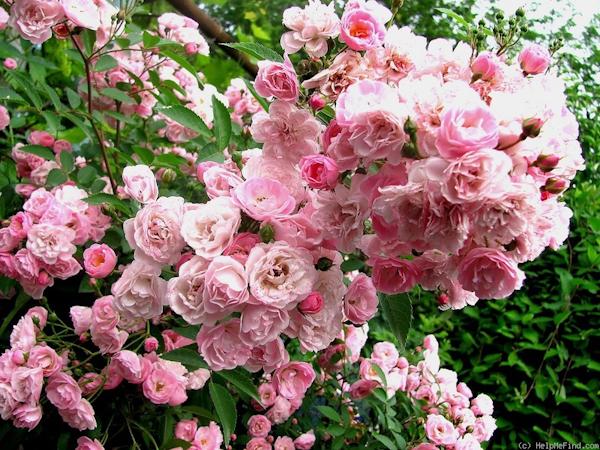 Heavenly Pink ®