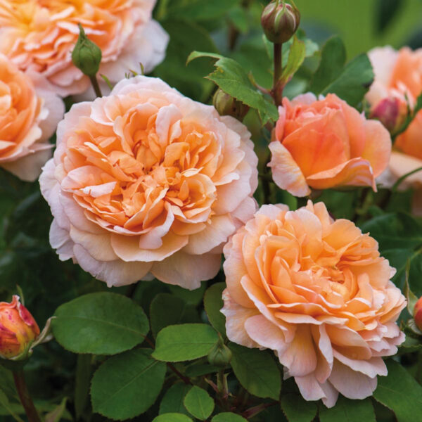 The Lady Gardener ®