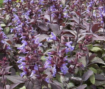 Salvia purpurescens