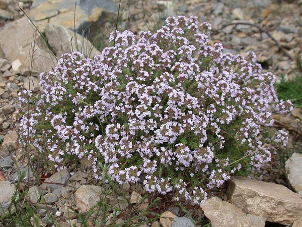 Thymus vulgaris faustinii