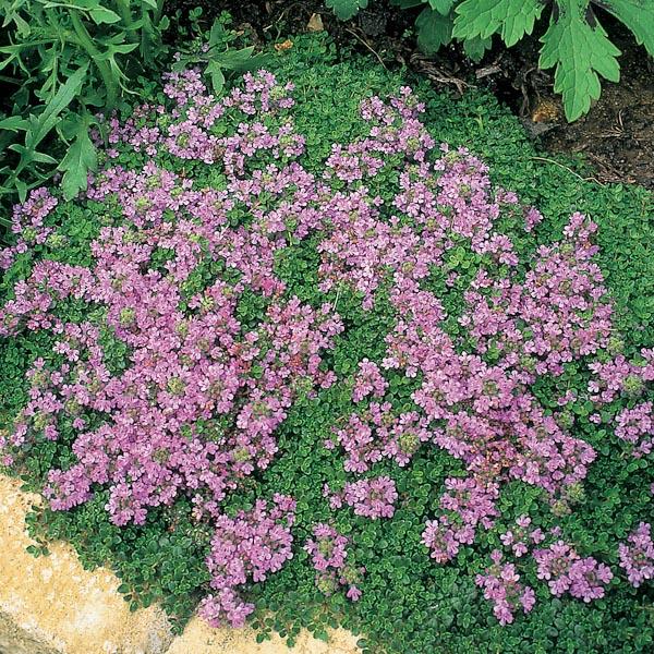 """Thymus serpyllum """"Coccineus"""""""