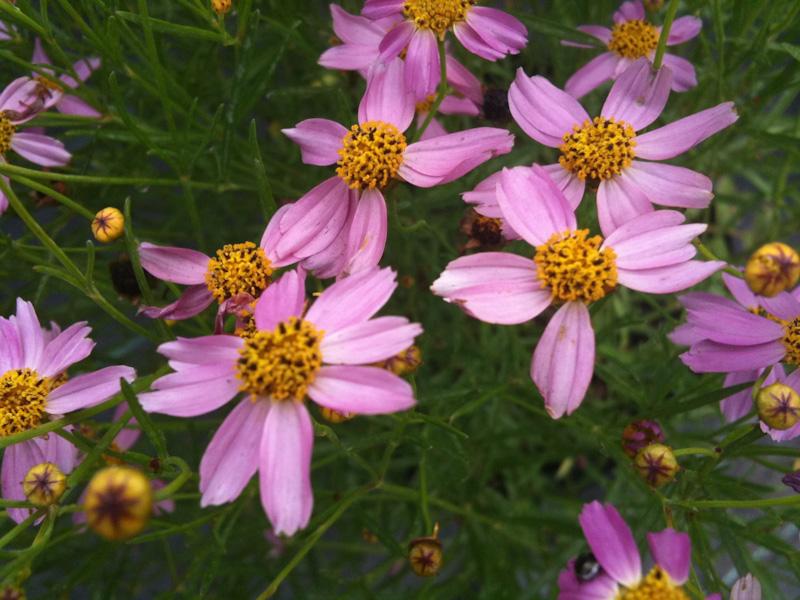 "Coreopsis rosea ""American Dream"""