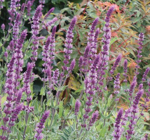 "Salvia nemorosa ""Amethyst"""