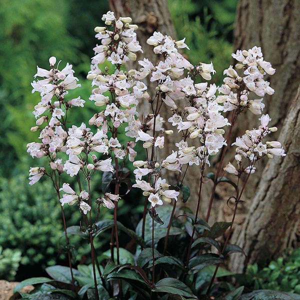"Penstemon digitalis ""Husker Red"""