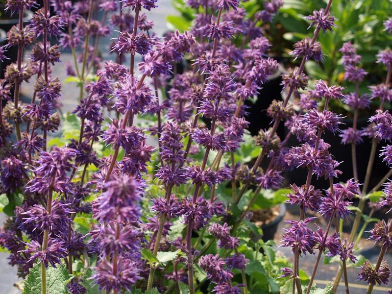 Salvia verticillata viola