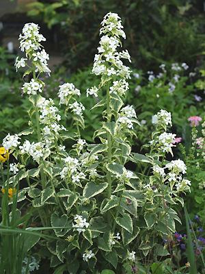 "Lunaria  annua ""Albiflora"""