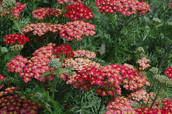 "Achillea millefolium ""Paprika"""