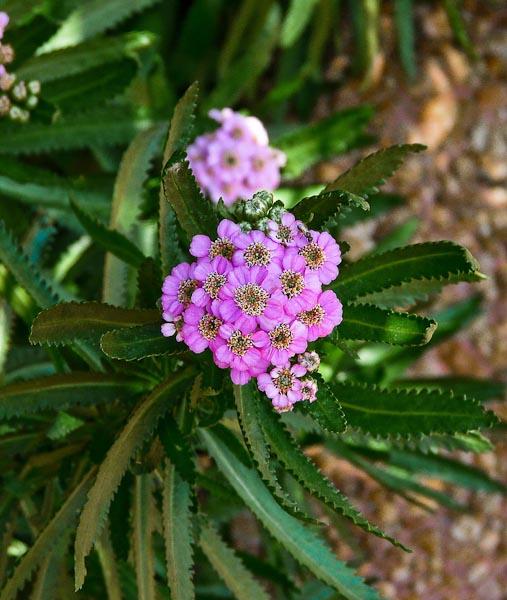 Achillea sibirica camtschatica