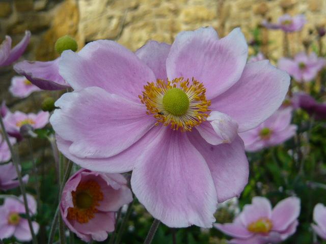 "Anemone japonica ""September Charme"""