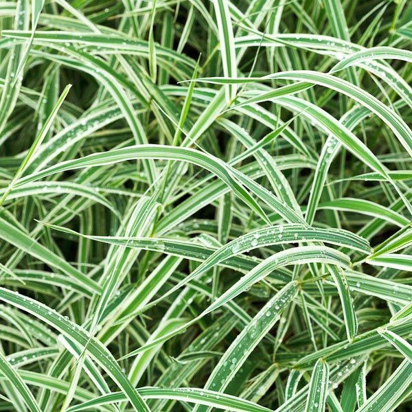 Carex morrowii bicolore bianco
