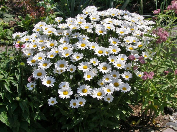 "Chrysanthemum fil. ""May Queen"""