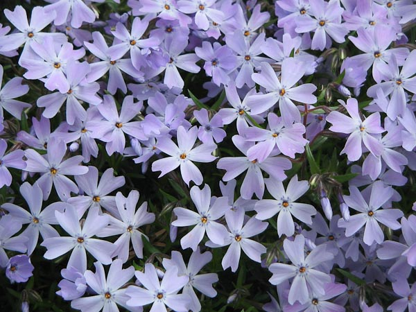 "Phlox subulata ""Emerald Blu"""