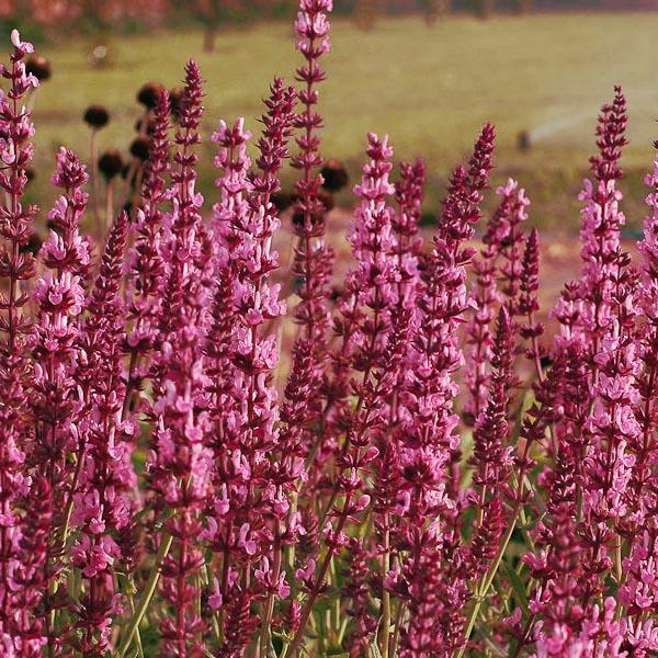 "Salvia nemorosa ""Rosakonigin"""