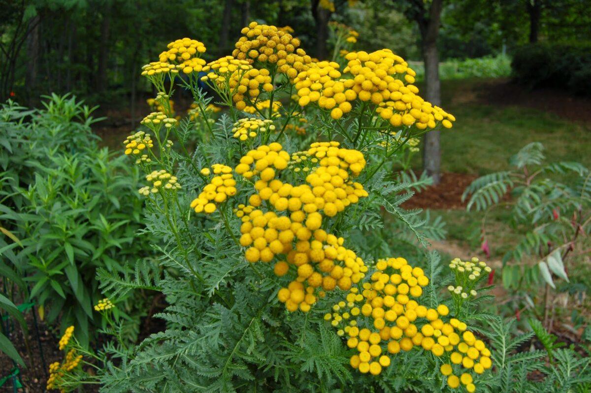 Chrysanthemum vulgare