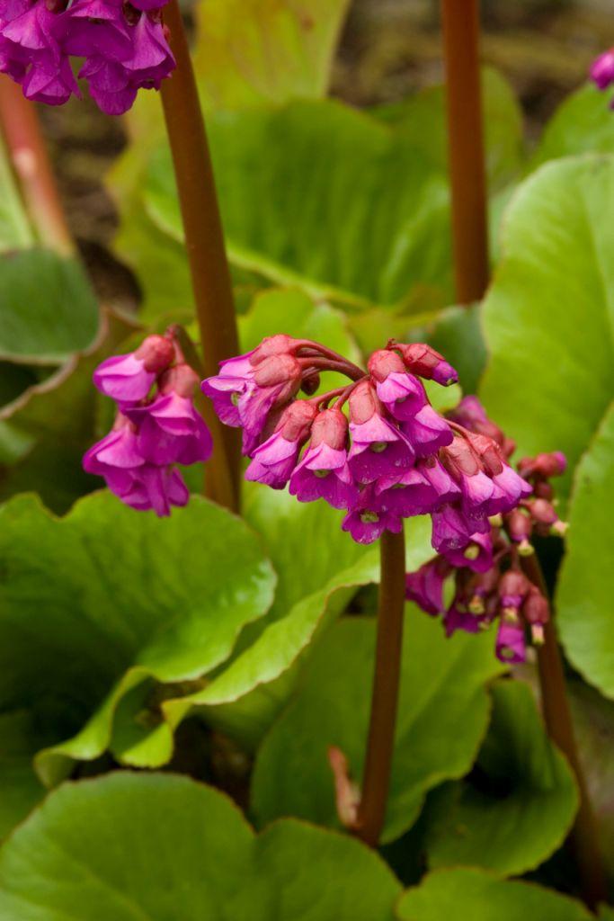 """Bergenia cordifolia """"Winter Glow"""""""