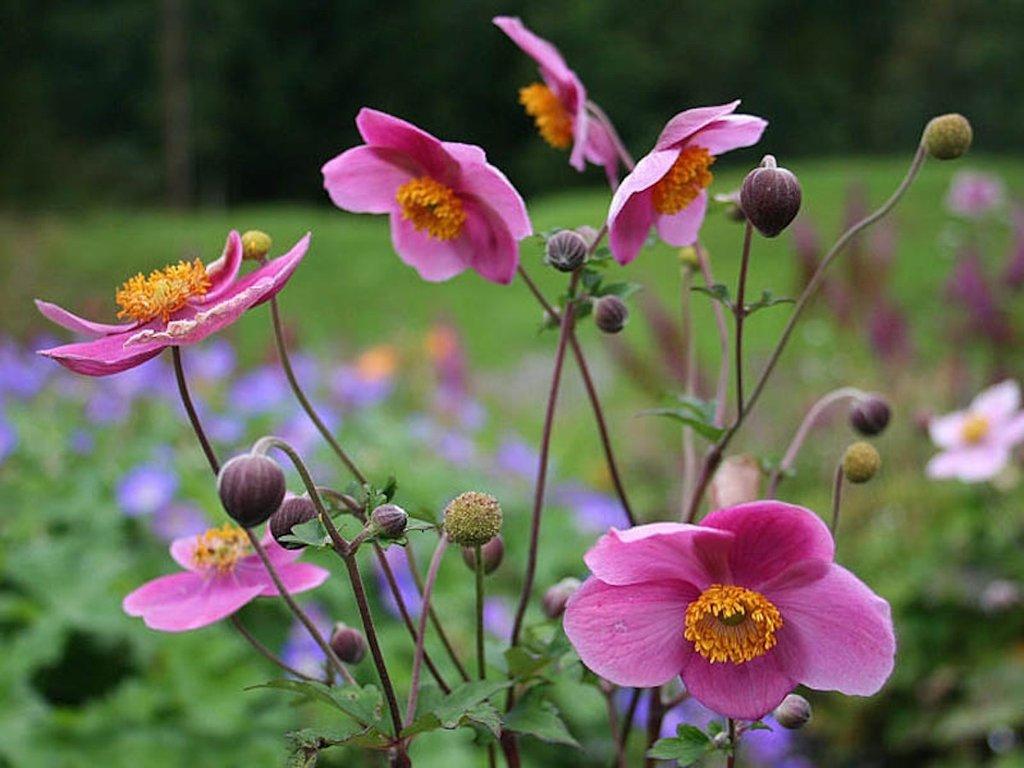 "Anemone hupensis ""Praecox"""