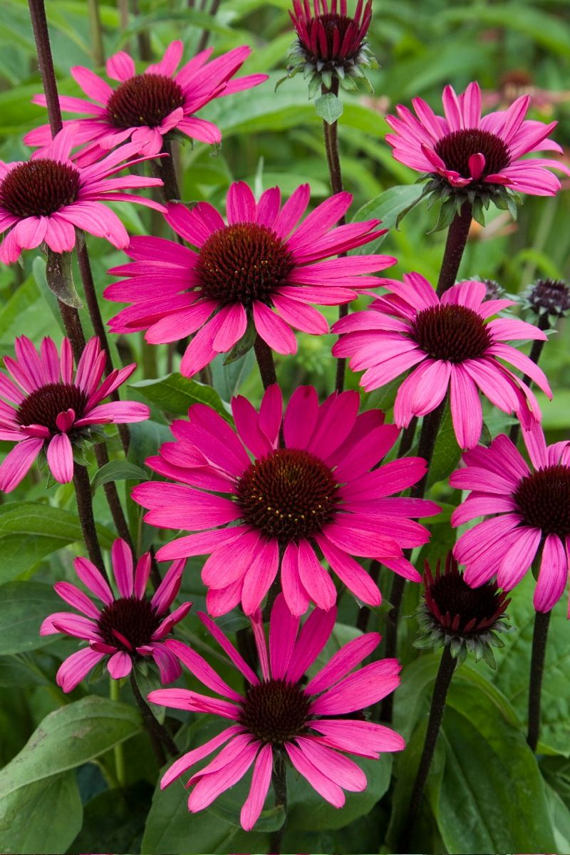 "Echinacea ""Sunseeckers Purple"""