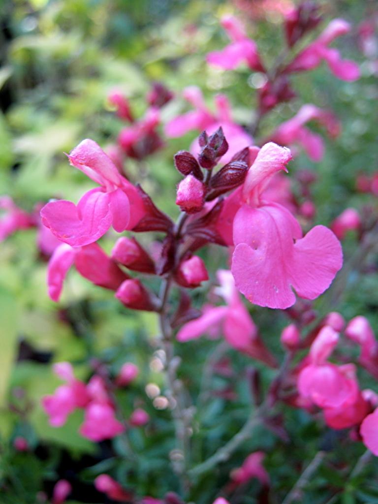 "Salvia suncrest ""Flamenco rose"""