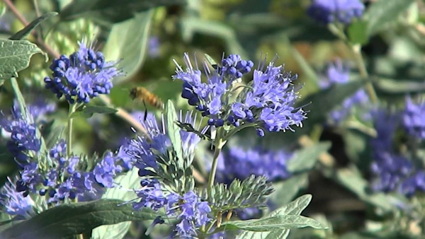 "Caryopteris ""Heavenly Blue"""