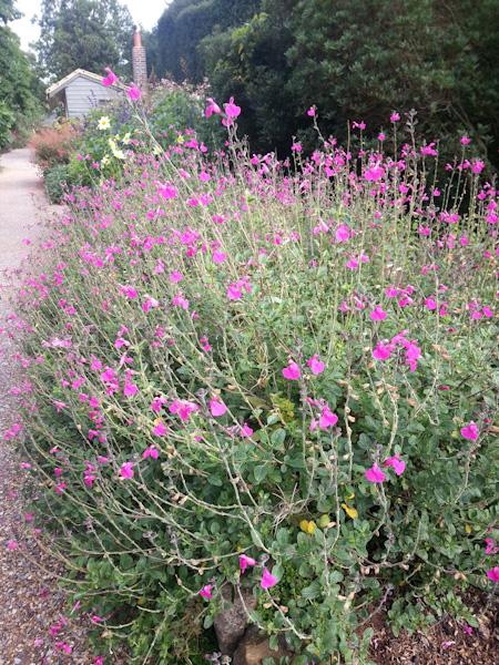 "Salvia microphylla ""Pink Blush"""