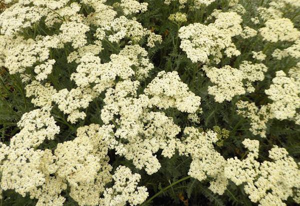 """Achillea millefolium """"Alabaster"""""""