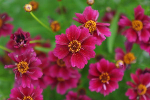 """Coreopsis rosea """"Twinkles Bells Purple"""""""