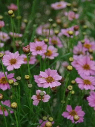 """Coreopsis rosea """"Twinkles Bells Pink"""""""