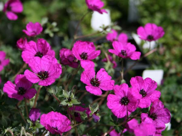 """Geranium cinereum """"Purpureus"""""""