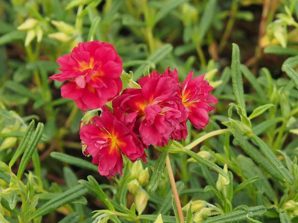 "Heliantemum ""Cerise Queen"""