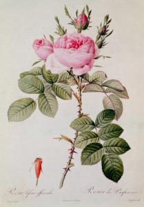 rosa_bifera_officinalis